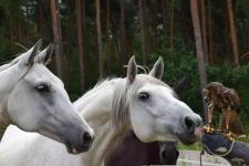 Sha Tamor (mitte), Saphira und Heinrich